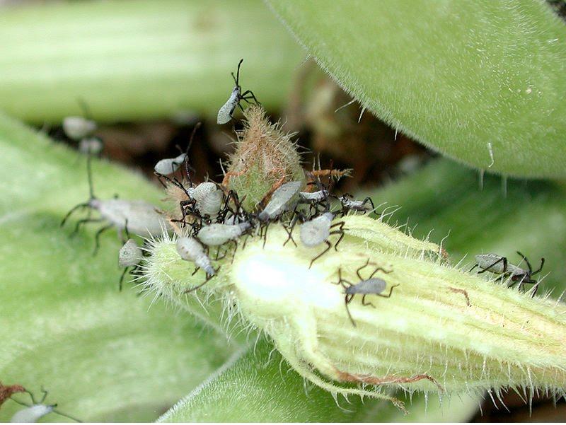 caledonia quilter garden pests