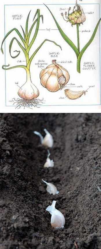 the backyard garden how to grow and harvest garlic. Black Bedroom Furniture Sets. Home Design Ideas