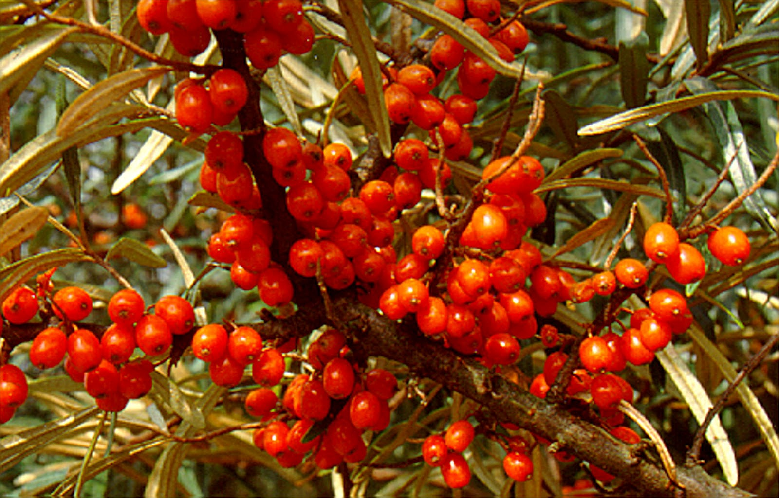 Medicinal plant news sea buckthorn seeds for sale - Growing sea buckthorn ...