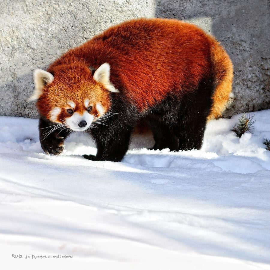 12. Red Panda by John Fujimagari