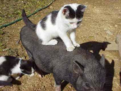 little kitten rides a pigglet