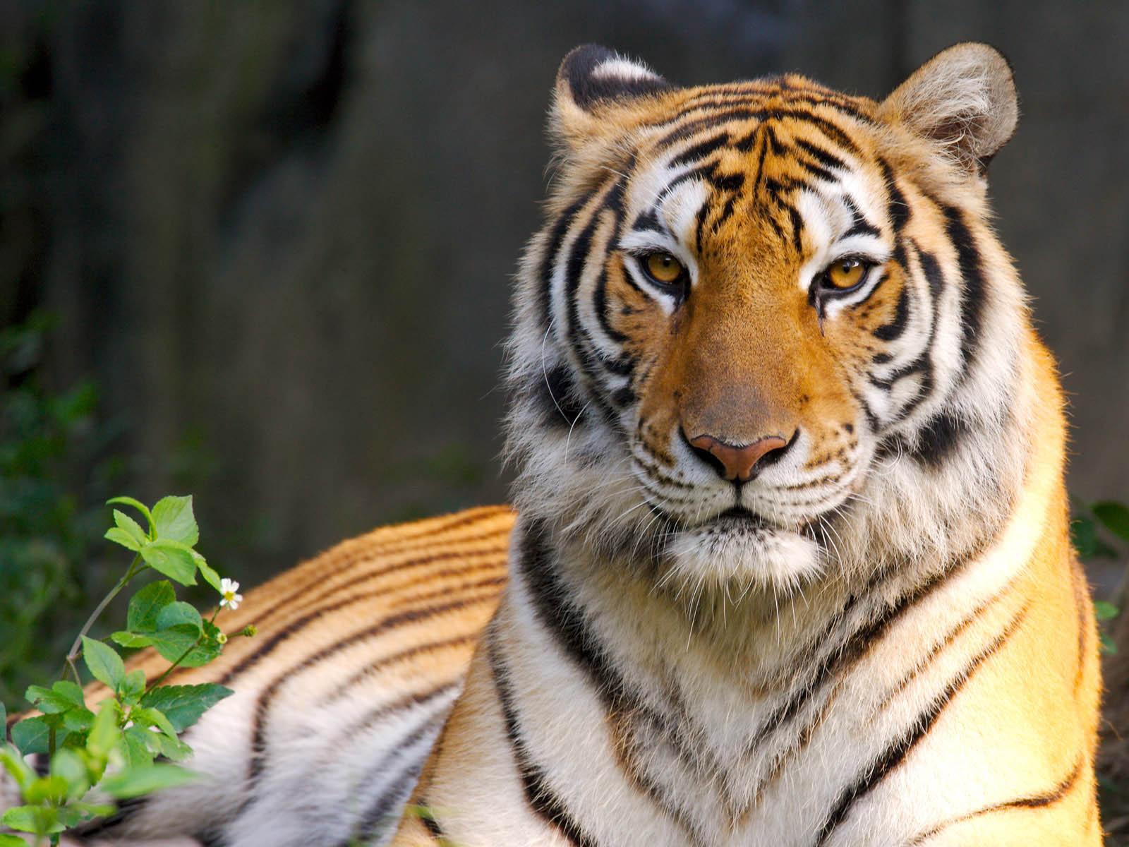 tiger photos - 2013 wallpapers