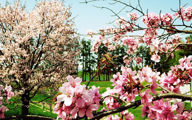 Bomen met roze bloemen in bloei in de lente