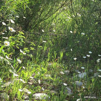 ox-eye daisy, Leucanthemum vulgaris