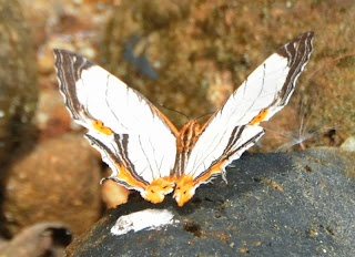 Straight-line Mapwing (Cyrestis nivea)