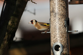 Goldfinch by Findlay Wilde
