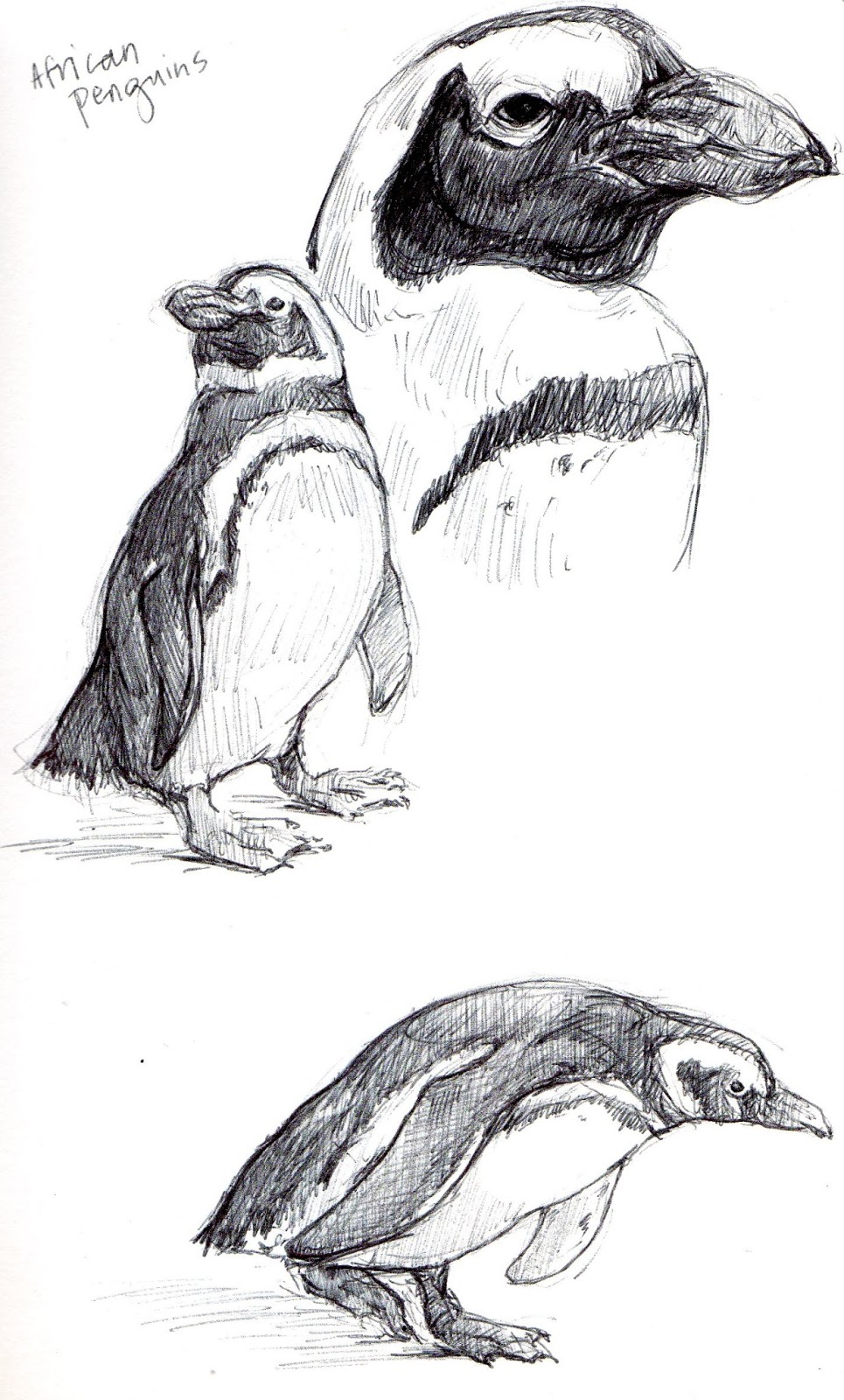 African Penguin Drawing With African Penguins