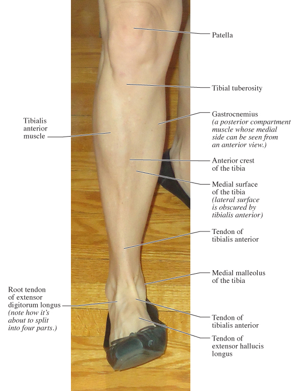 Human Anatomy For The Artist Anterior Leg Part 2 Its Lonely At