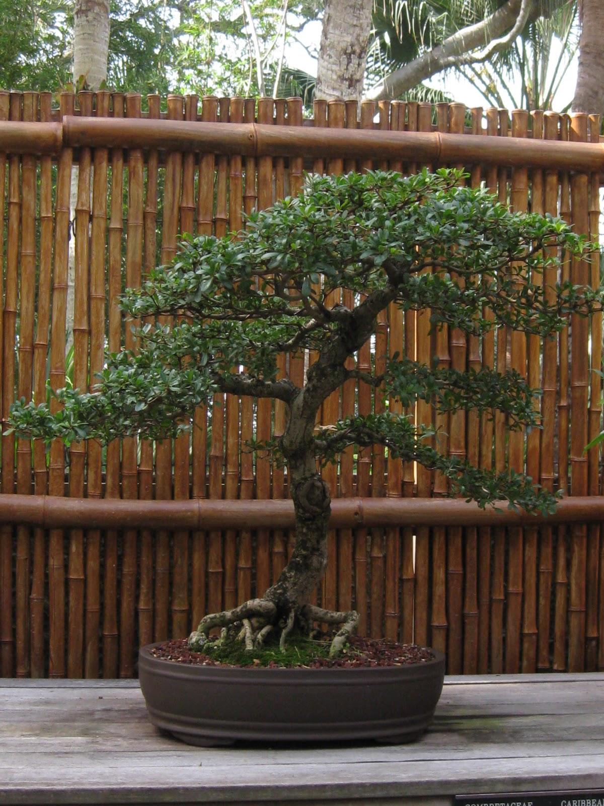 El jard n de isula bonsai en el jardin botanico selby for Bonsai de jardin