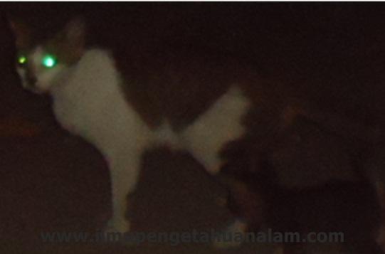 penglihatan kucing yang tajam