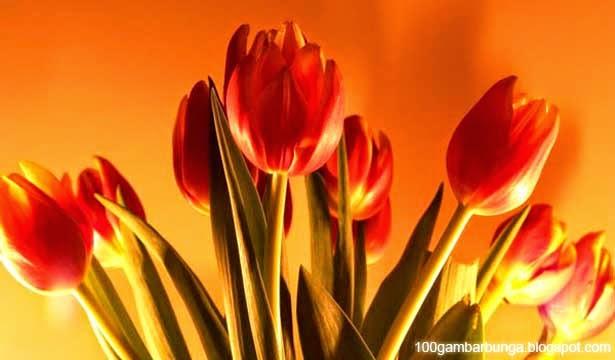 Ciri-ciri dan Morfologi Bunga Tulip