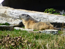 Marmotte de l'Aiguille