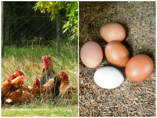 Gallinas - huevos - Chacra Educativa Santa Lucía