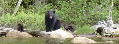 Black Bear with three cubs Ontario Canada