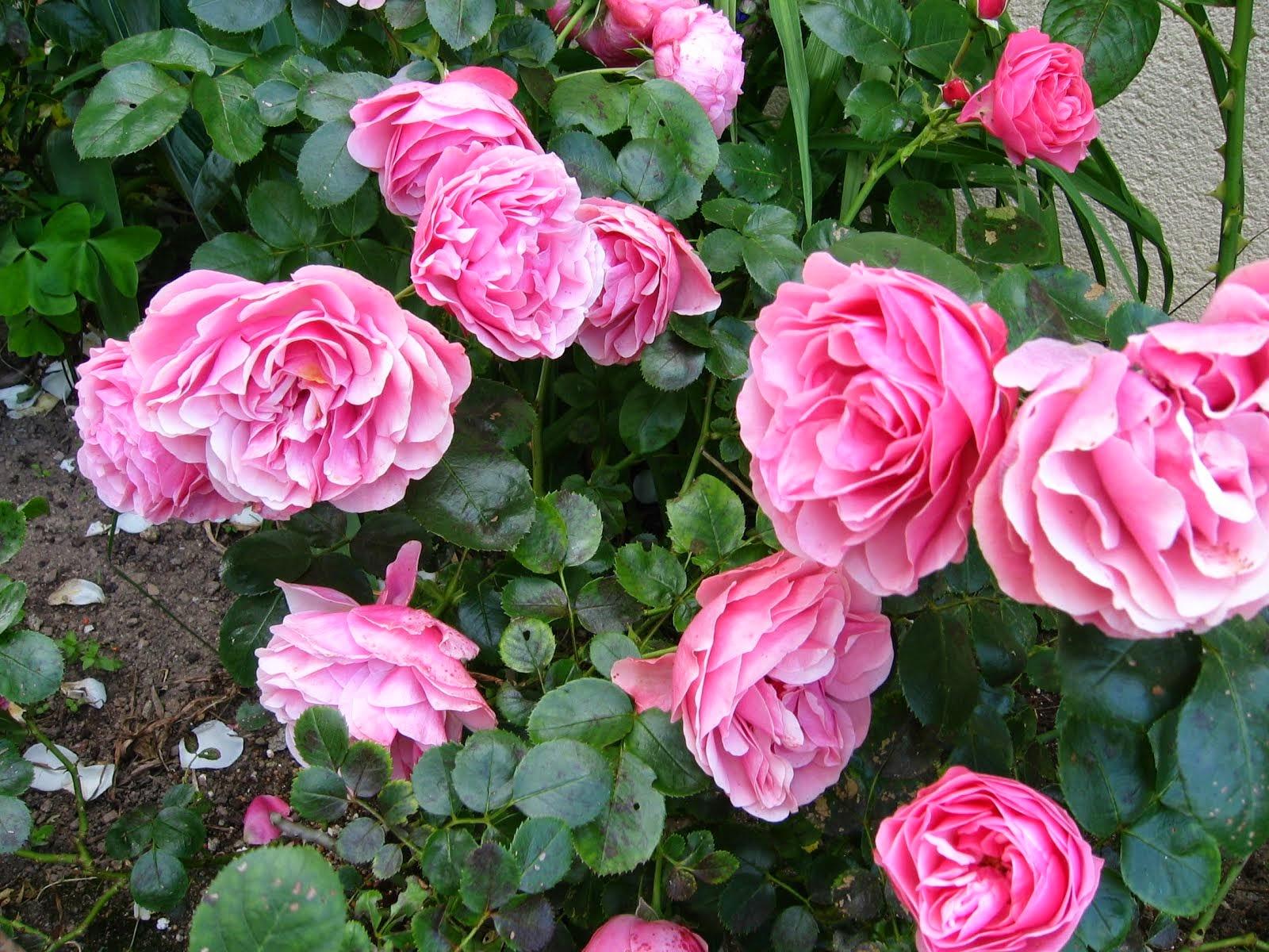 Les roses de mon enfance