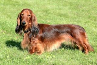 Perro de raza Dachshund