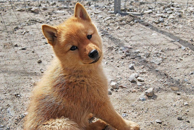 Finnish Spitz Puppy