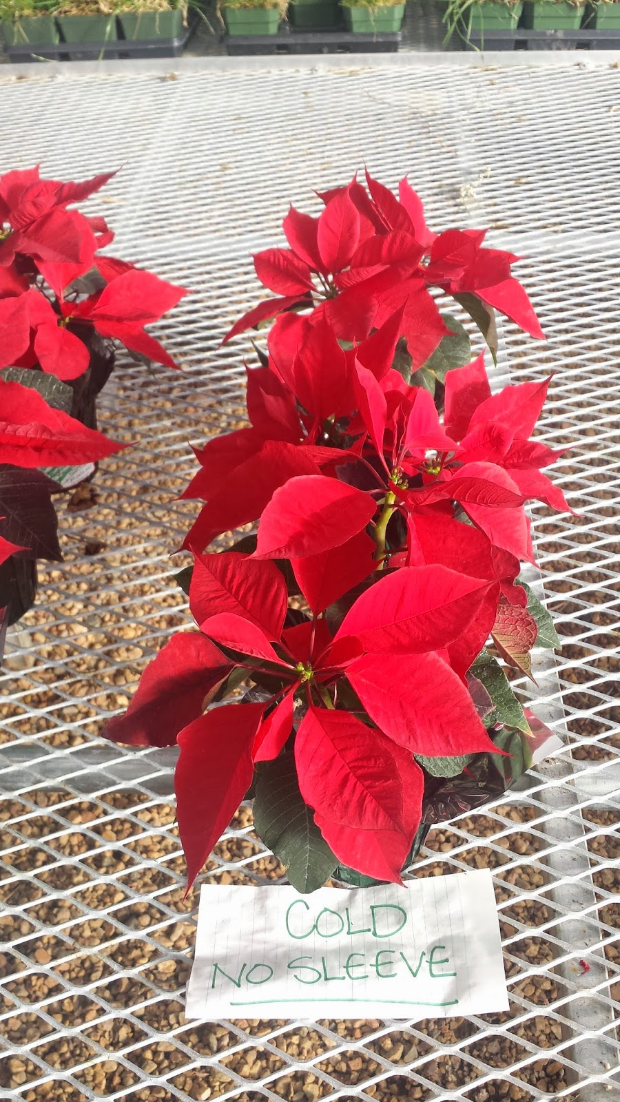 Co Horts The Great Poinsettia Experiment That Failed