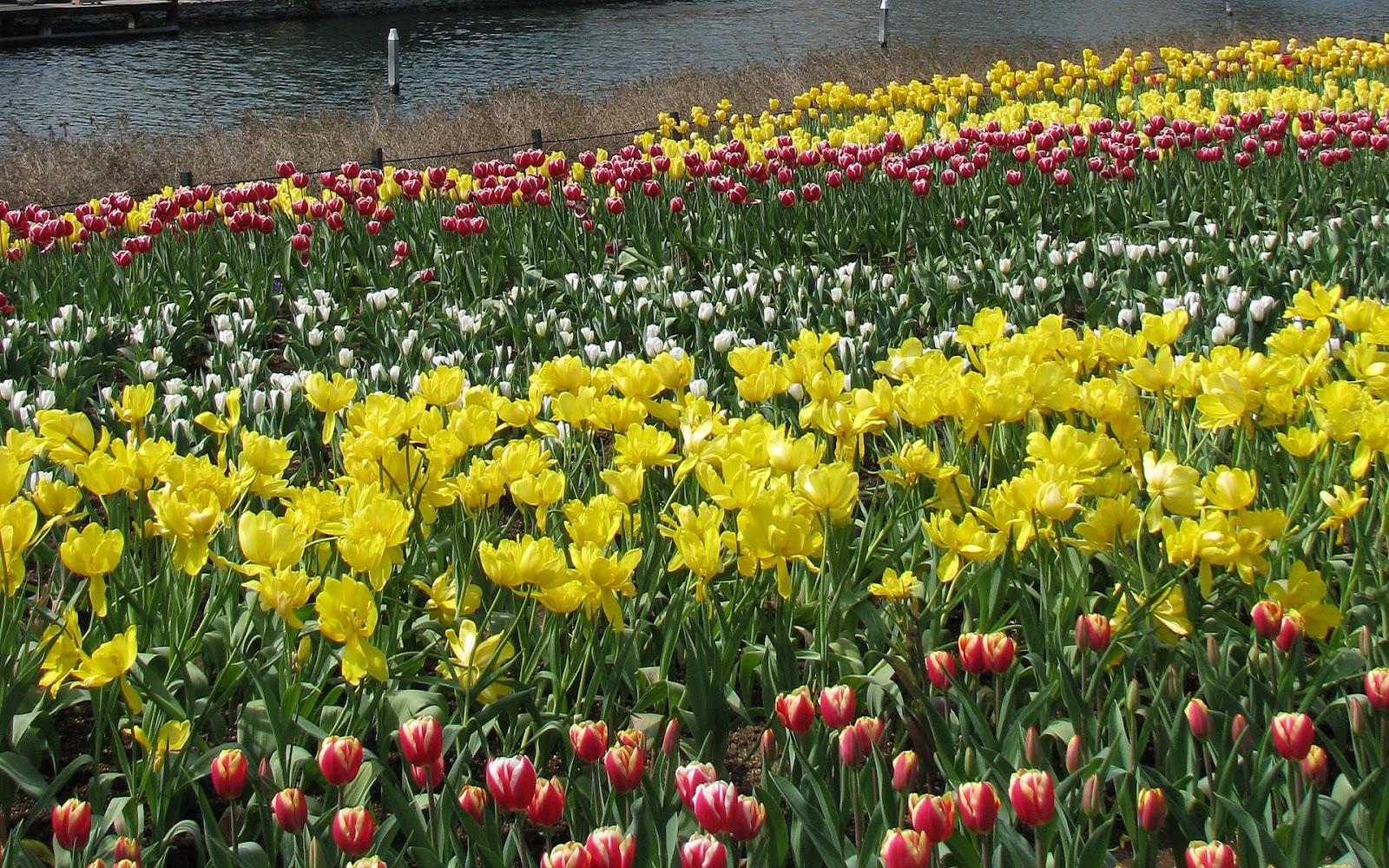 tulpen achtergrond met een - photo #8