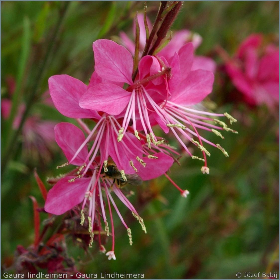 Gaura lindheimeri   inflorescence  - Gaura Lindheimera  kwiatostan