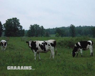 spooky looking cows in a field