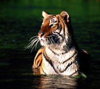 Tiger is the King creature of Sundarban