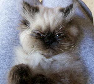 Gambar Kucing Persia Himalaya lagi tidur