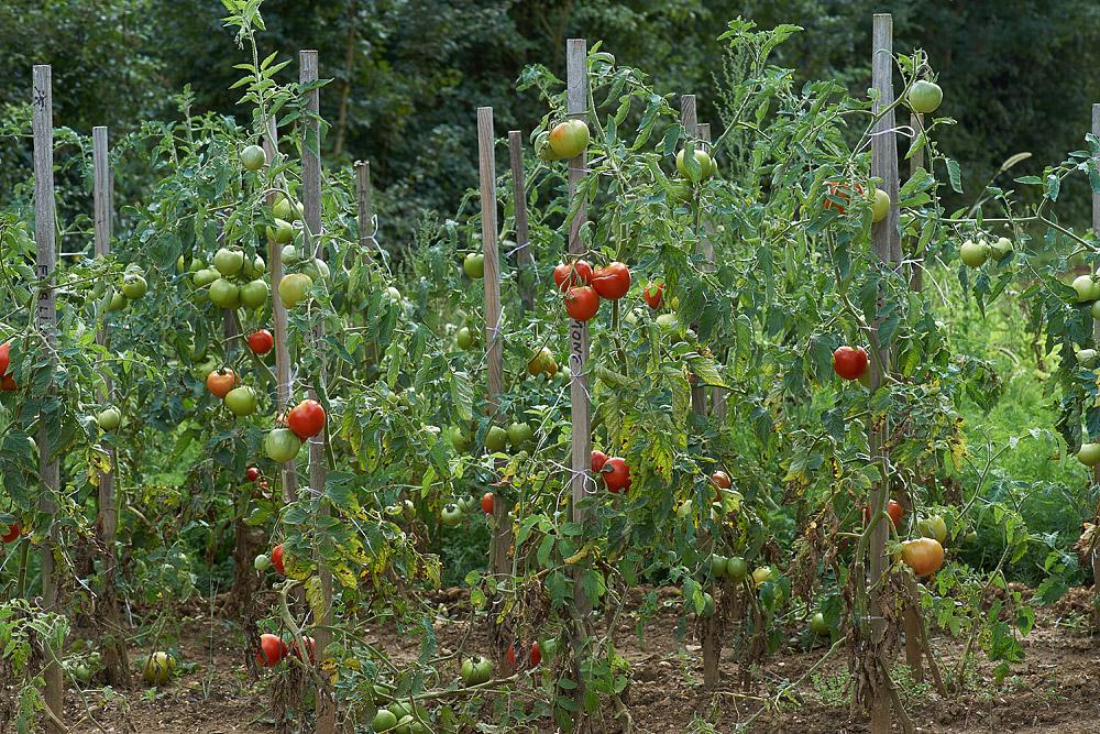 Potager d 39 automne - Distance entre pied de tomate ...