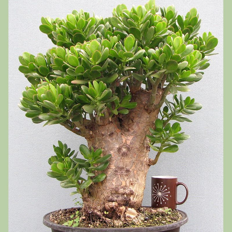 money tree bonsai. Plant, money tree was bought