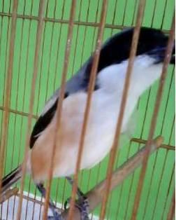 Rahasia Jadikan Burung Cendet Juara