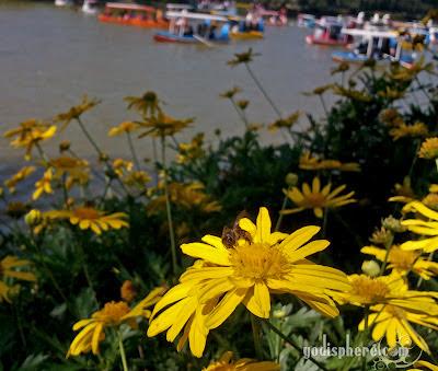 Burnham Park Sunflower and Bee