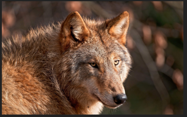 Golden Brown Wolf With Blue Eyes the Red Wolf back from the