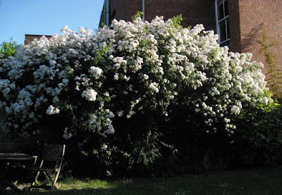 Huge climbing white rose