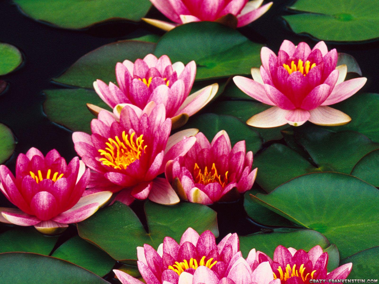 water lillies Offering exquisite beauty our hardy water lilies are vibrant and come in a rainbow of colors and sizes dragonfly aquatics has over 50 hardy water lilies you can plant.