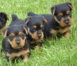 Australian Terrier Puppy Picture