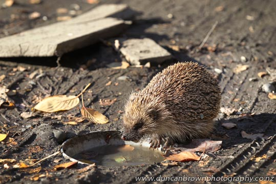 Hedgehog drinking from stormwater photograph