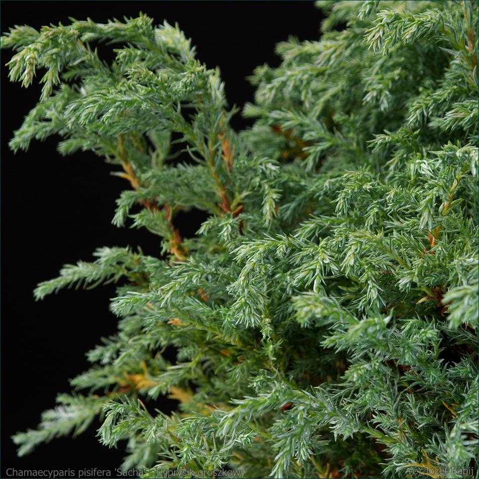 Chamaecyparis pisifera 'Sacha' - Cyprysik groszkowy 'Sacha' igły