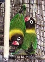 jenis lovebird kacamata topeng