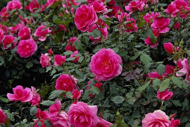 நான் பார்த்து ரசித்த புகைப்படங்கள் சில.... Beautiful+Flower+Garden+Wallpapers+%252814%2529