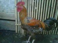 Ayam pelung Pejet