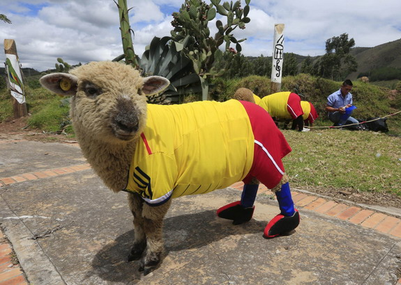 What if there's World Cup for sheep?