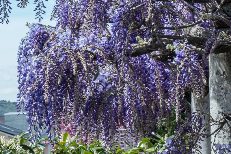 Au jardin de gine arbres en fleurs - Taille des rosiers apres floraison ...