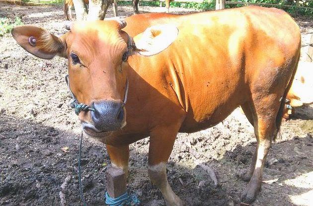 usaha ternak sapi potong, daging sapi, usaha sapi