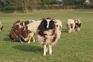 Jacob+Sheep-Charlecote+Park-National+Trust-Gary+Webb