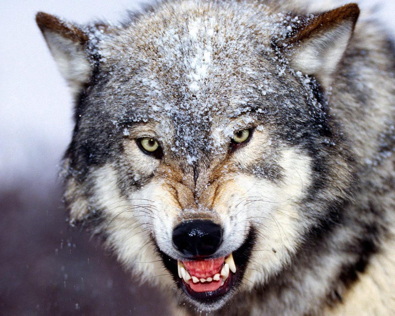 Злой волк картинки карандашом - b4045