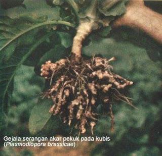 Akar Gada Pada Kubis (Plasmodiophoro brassicae)