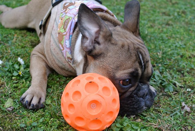French Bulldog Genki with Ball