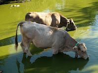 Vaques a la bassa de Postius
