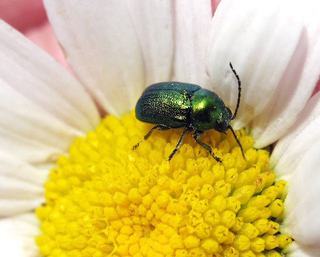 Leaf beetle, Chrysolina species, on oxeye daisy.  High Elms Country Park, 29 May 2011.