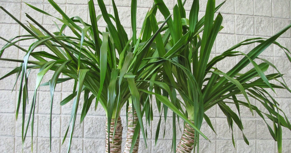 Home And Garden : Yucca spp.